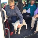 Lamb in bus 2